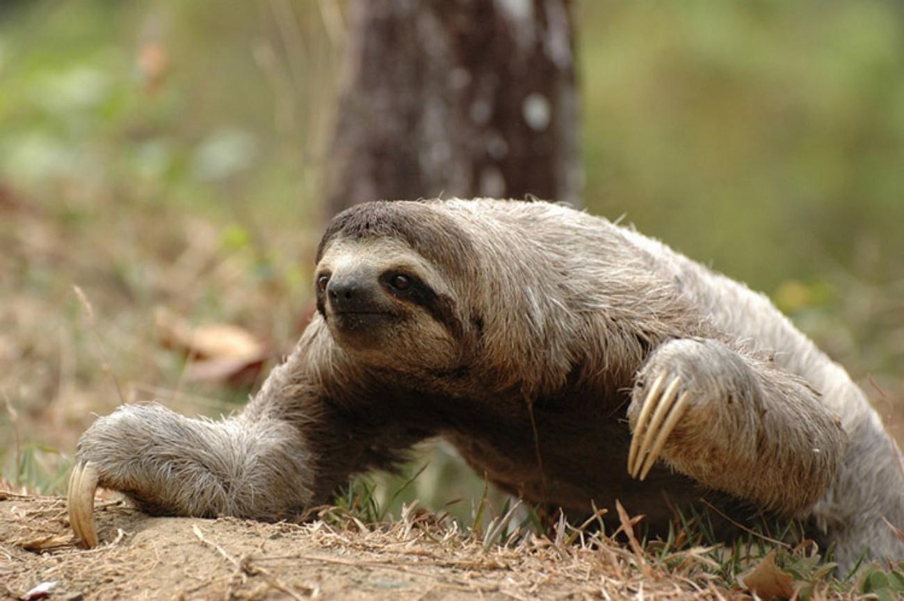 Трёхпалый ленивец 33