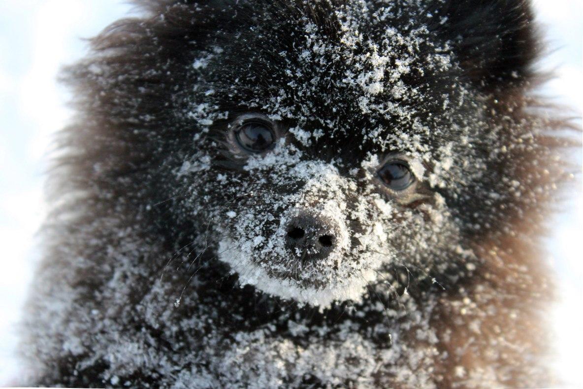 шпиц в снегу