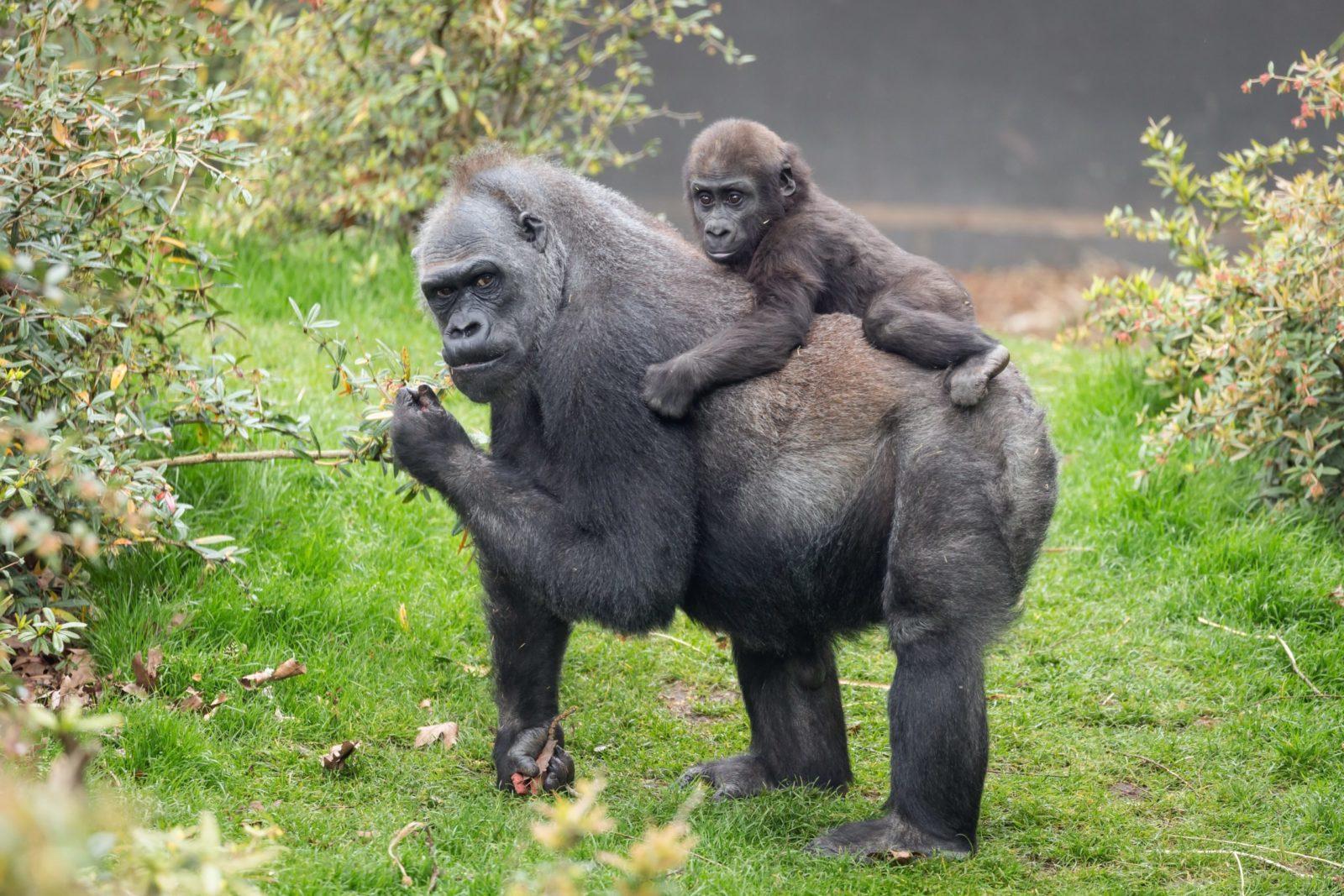 Горилла с детёнышем