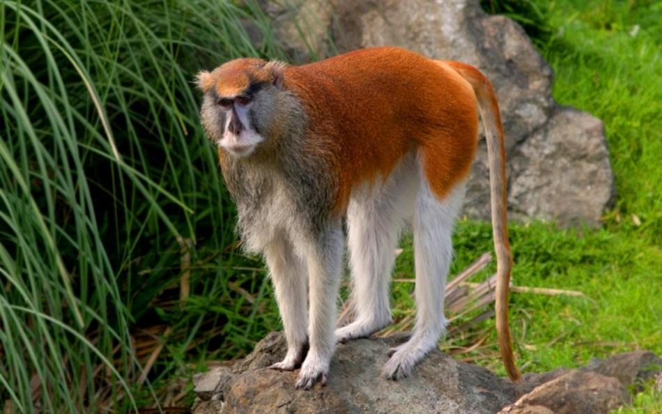 обезьяна гусар