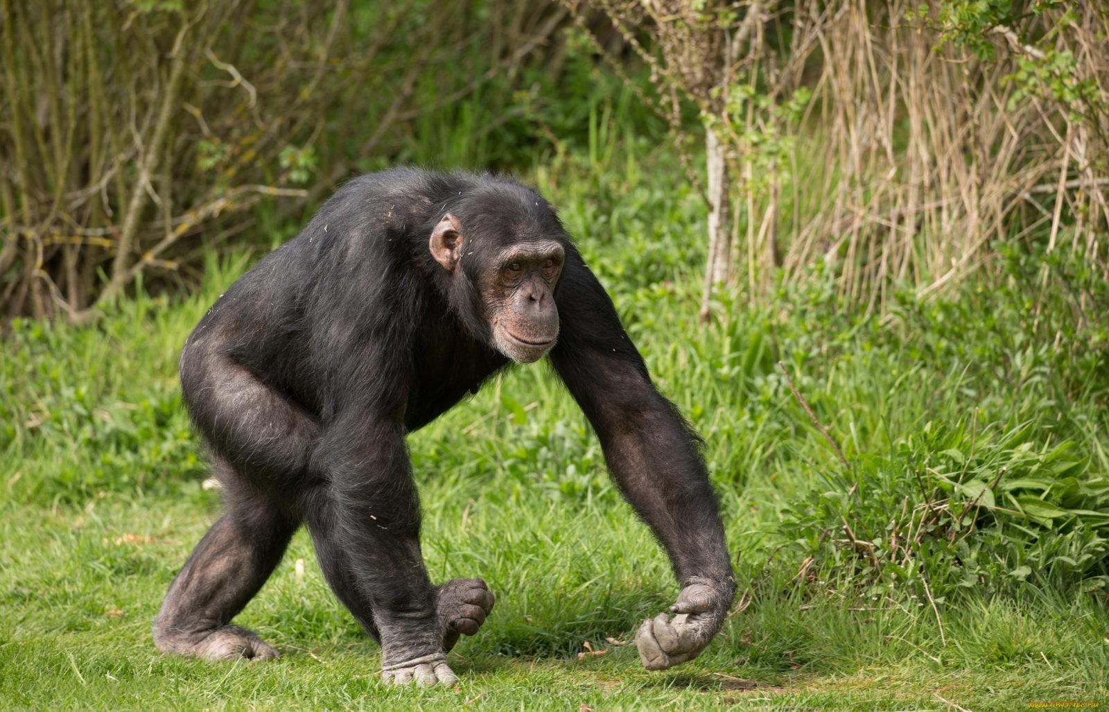 Фото обезьяны шимпанзе
