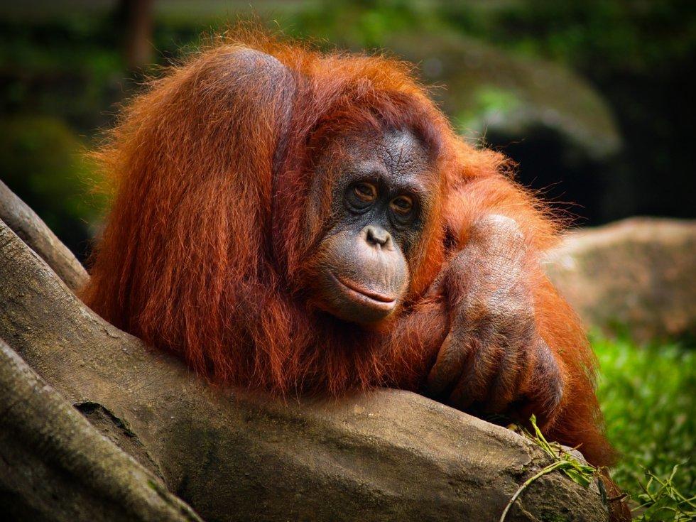 Самец орангутана