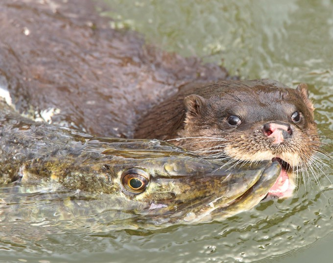 Выдра ловит рыбу