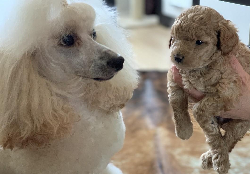 Пудель и его щенок