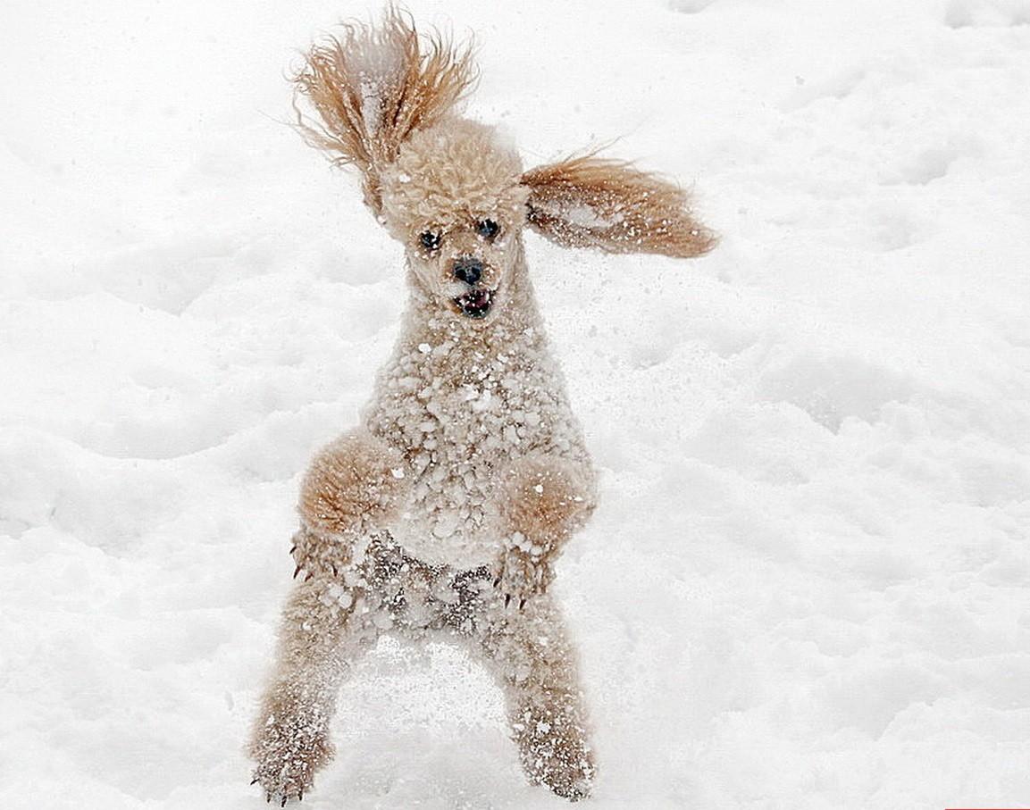 пудель в снегу