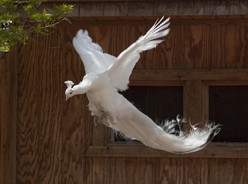 павлин летит