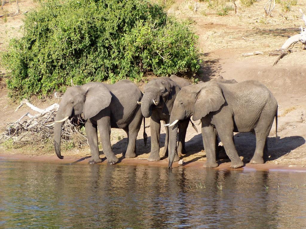 Африканские саванные слоны