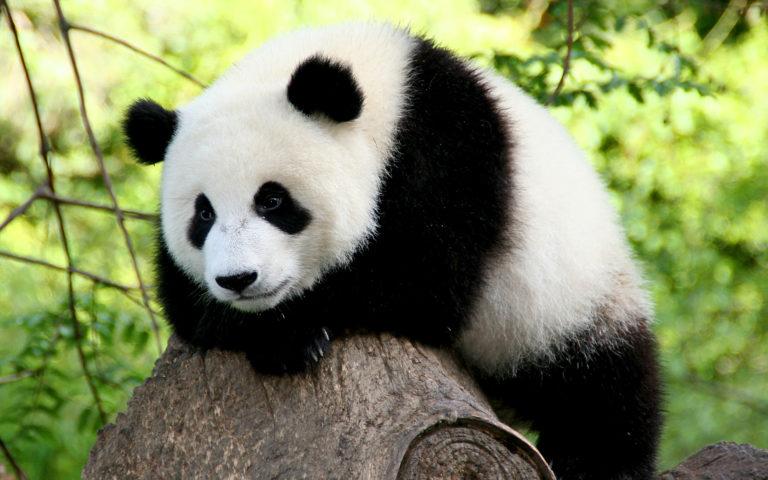 Панда фото 568