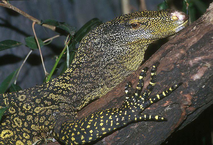 Крокодиловый варан 8