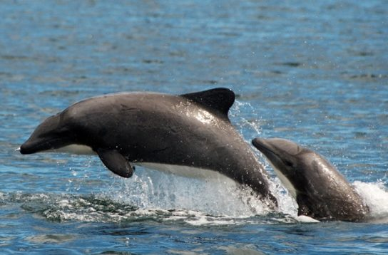 Белобрюхий дельфин