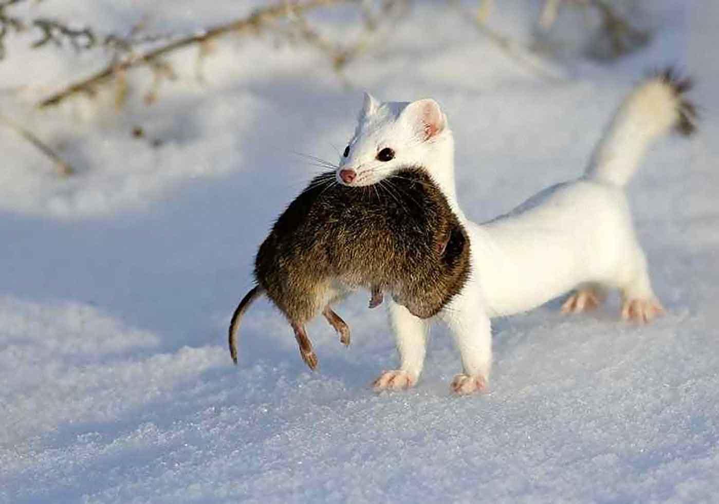 ласка с крысой