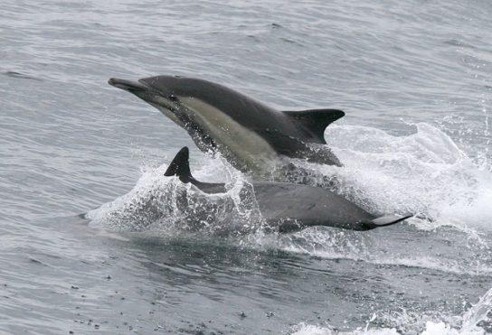 длинноклювые дельфины