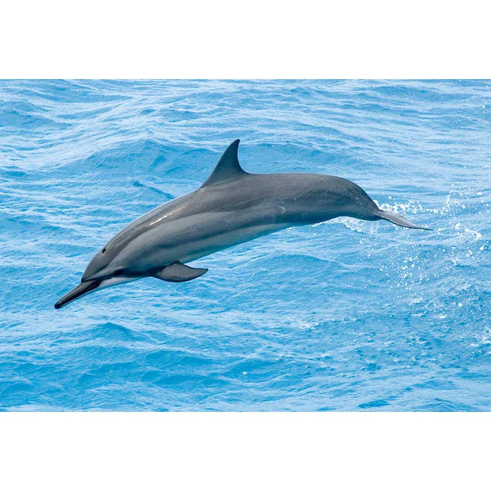 Длиннорылый продельфин