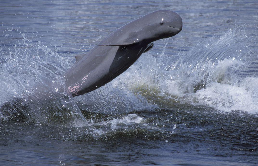 иравадийский дельфин
