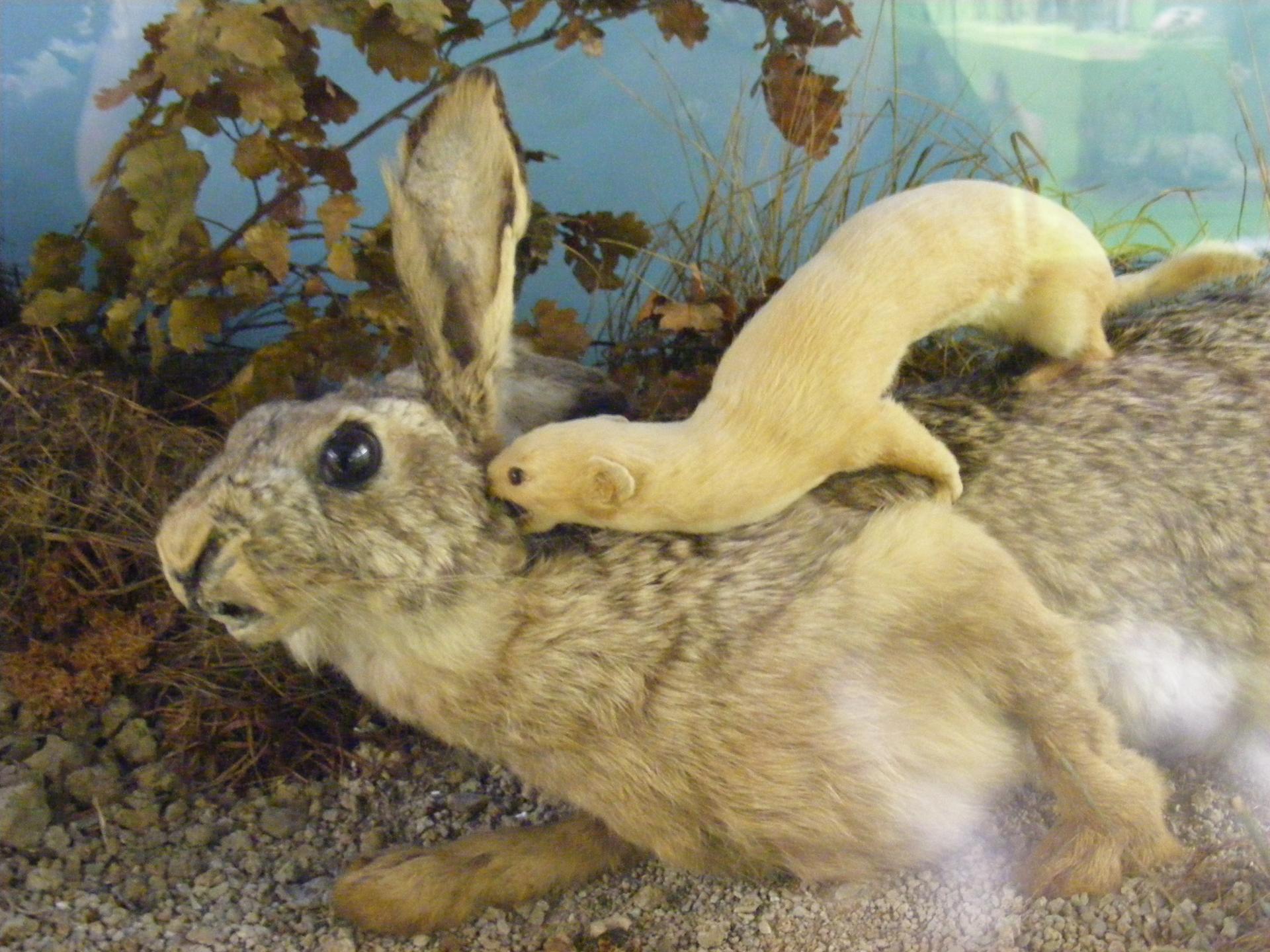 ласка и заяц