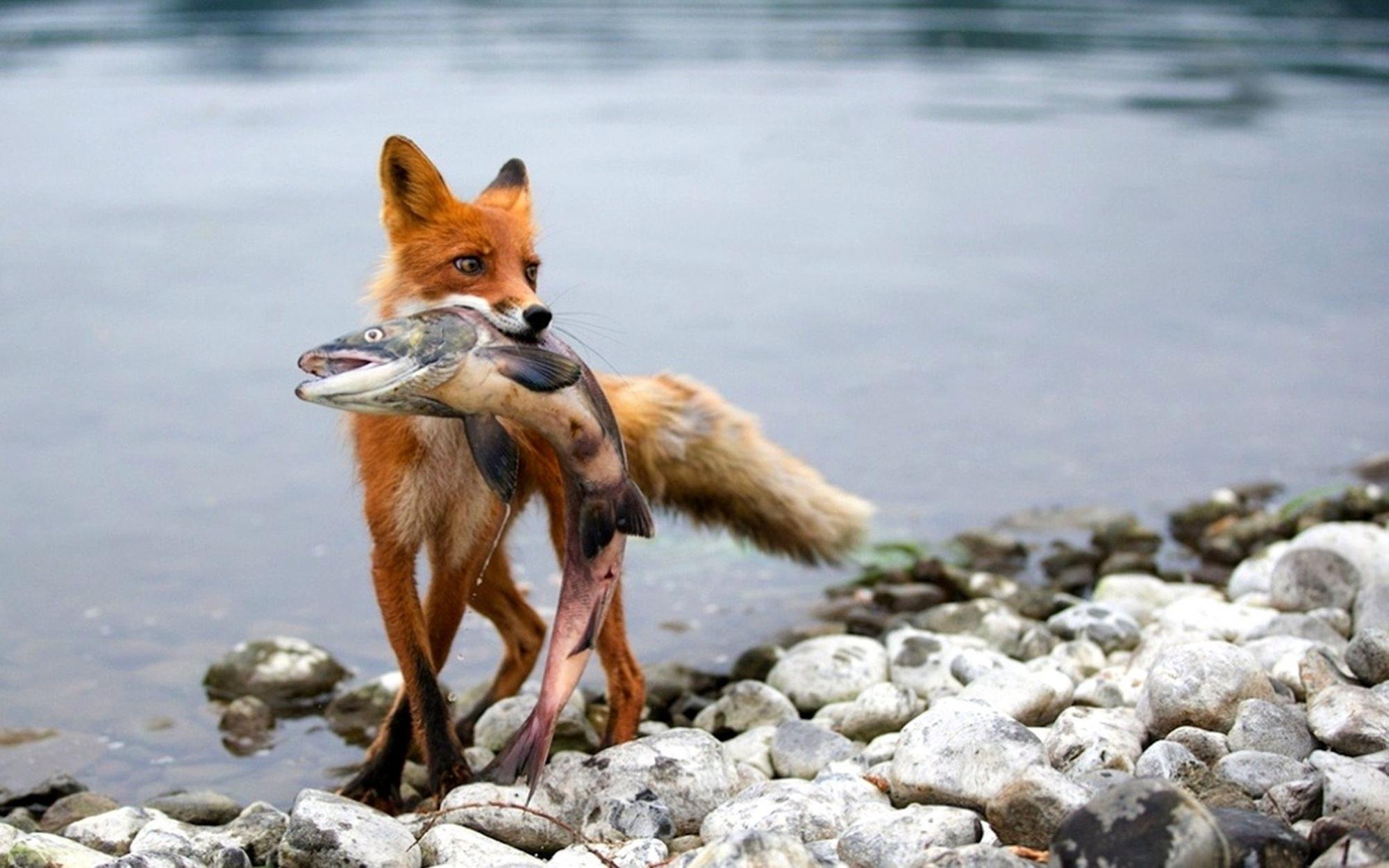 лиса рыбу поймала