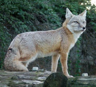 степная лисица (корсак)
