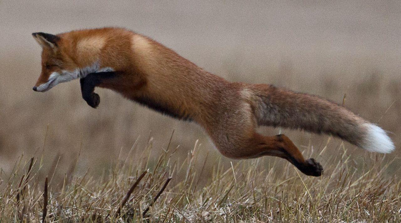 Лиса прыгает фото 45