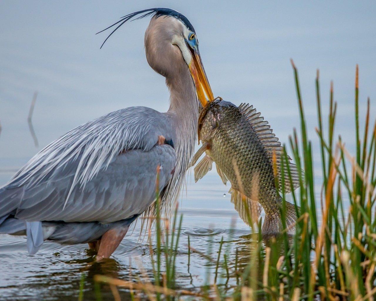 Цапля рыбу поймала