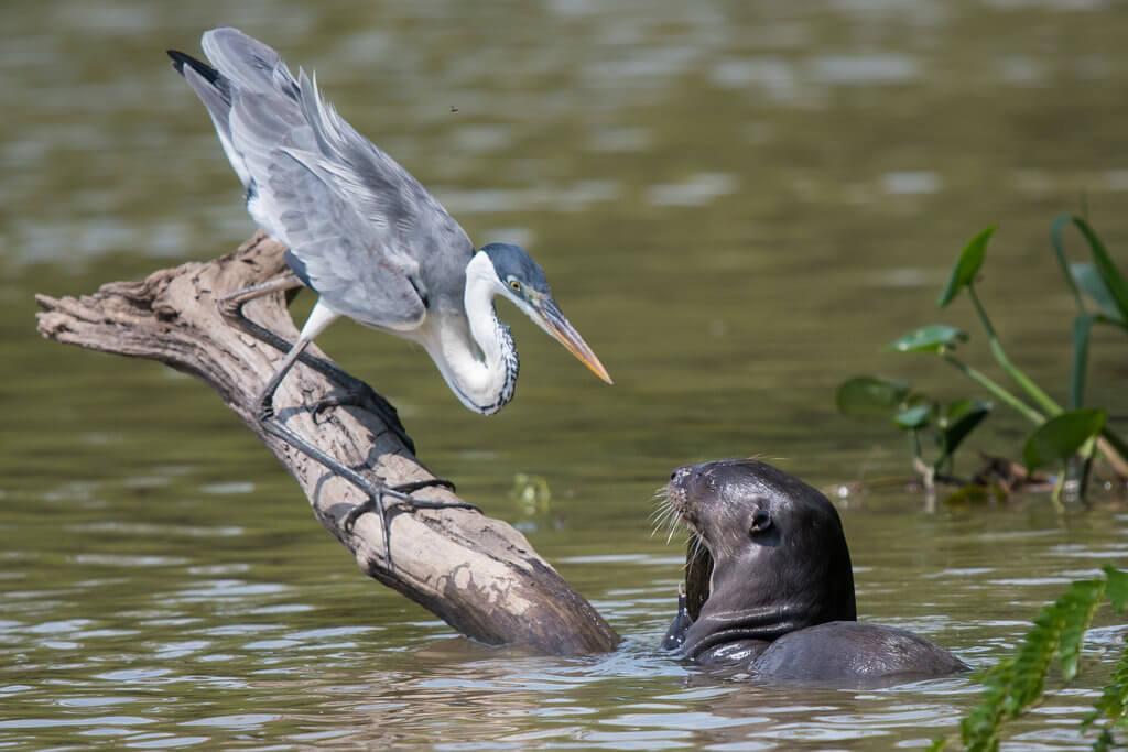 Цапля и тюлень