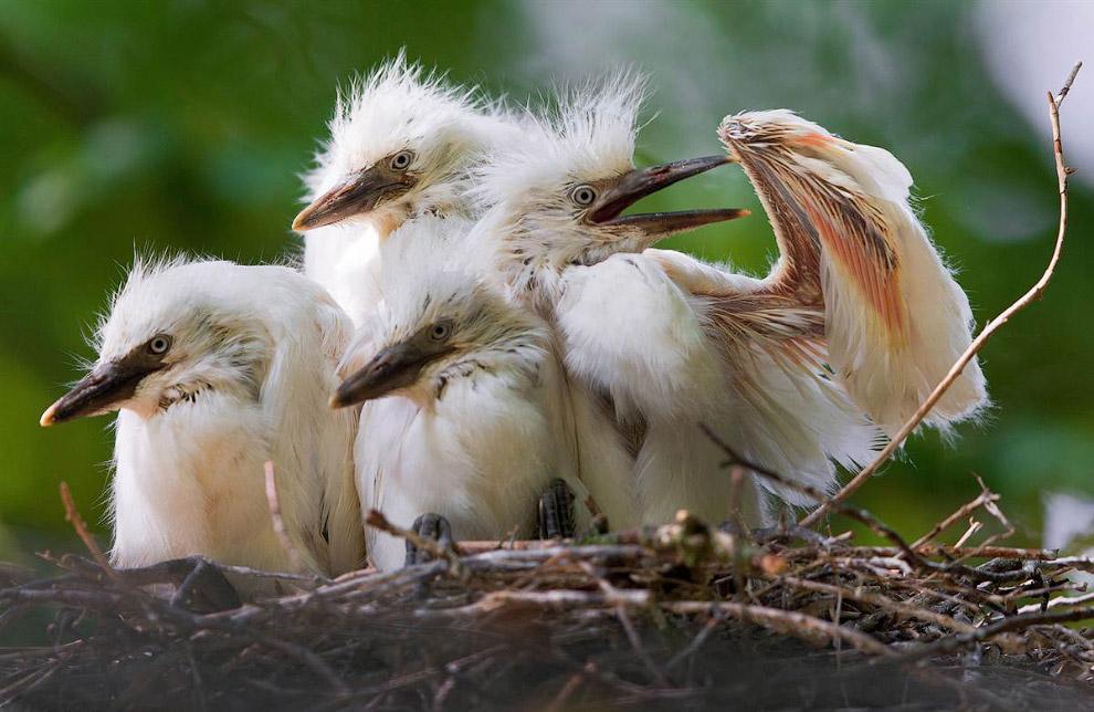 птенцы белой цапли