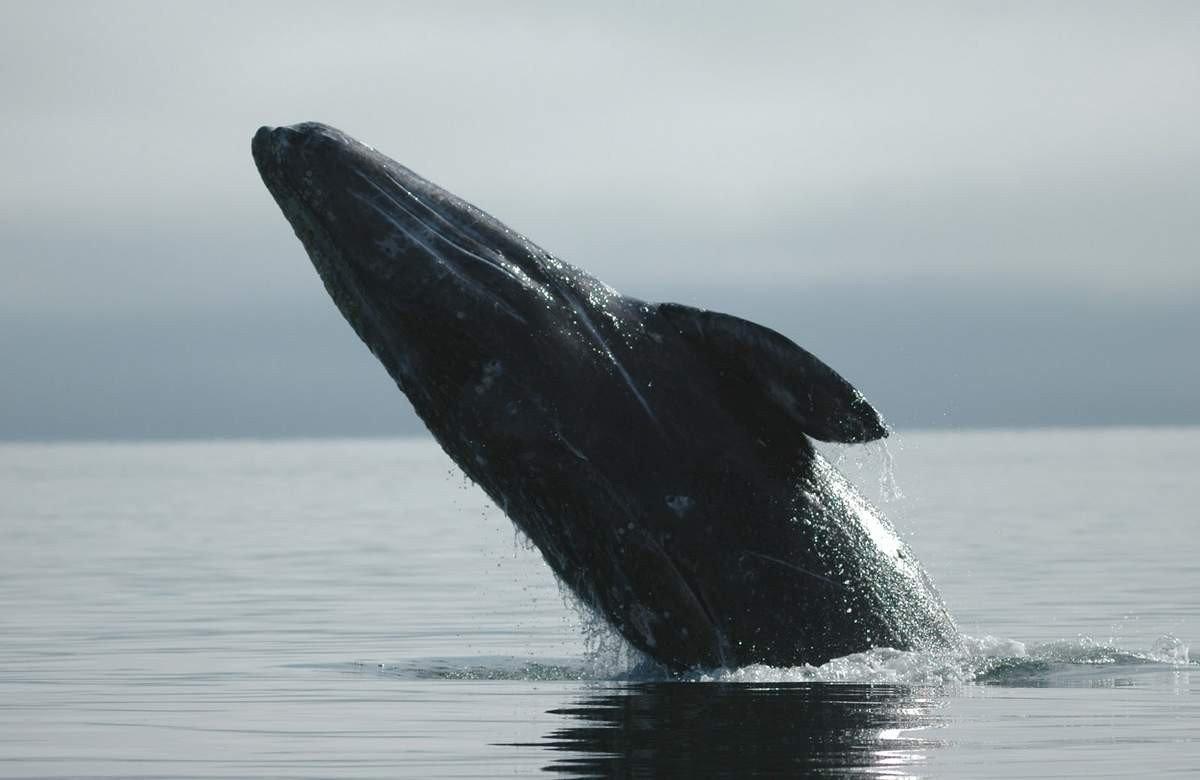 Карликовый или гладкий кит