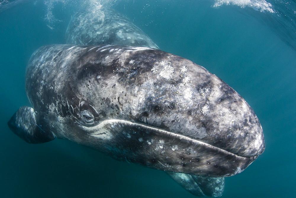 Калифорнийский или серый кит