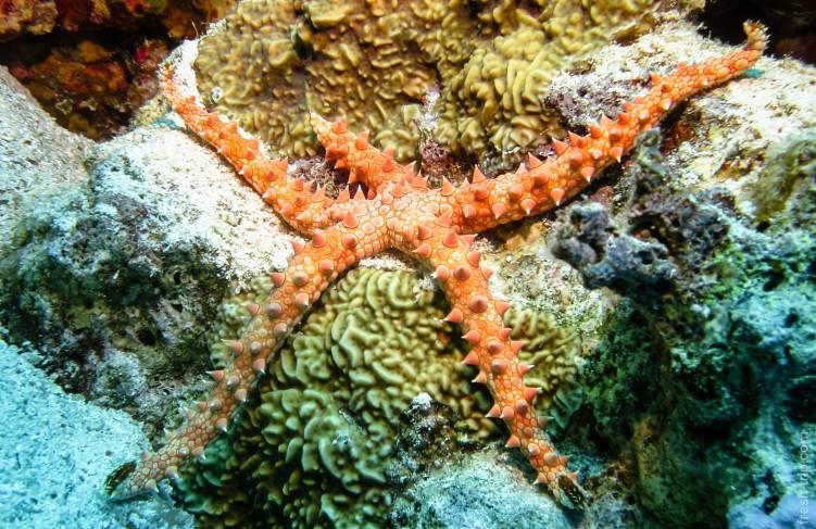 Египетская морская звезда