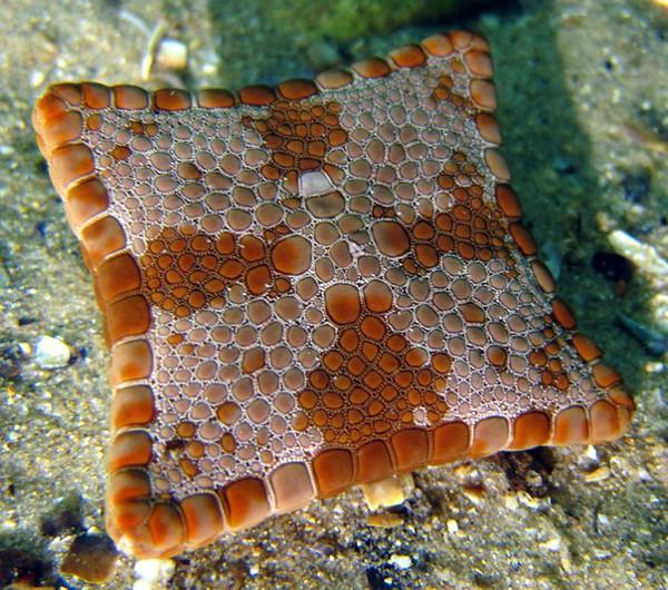 Бисквитная морская звезда