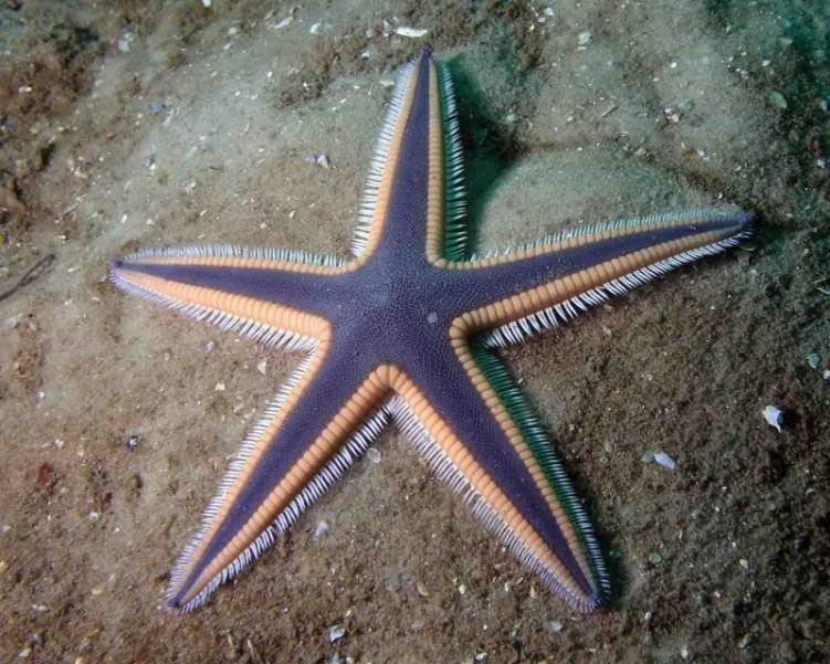 фото морская звезда 4