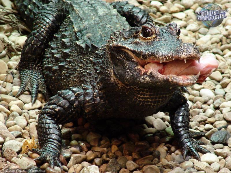 Африканский крокодил