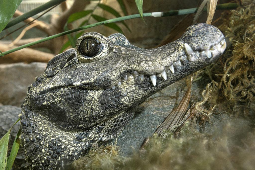 Африканский или тупорылый карликовый крокодил