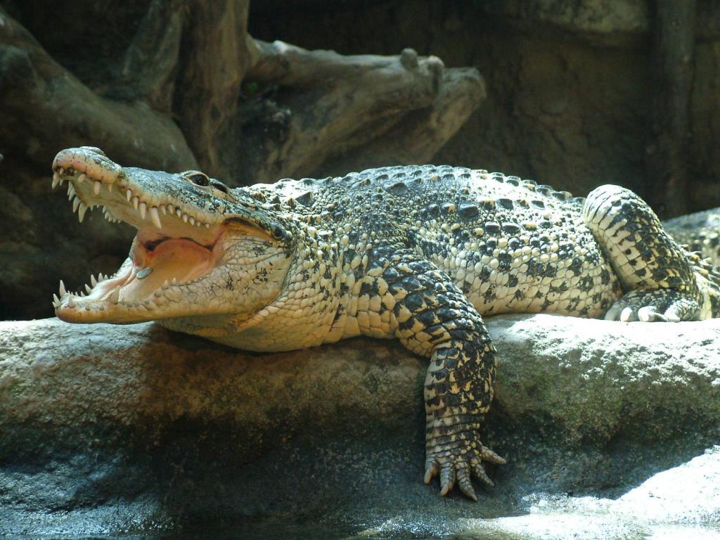 Кубинский крокодил
