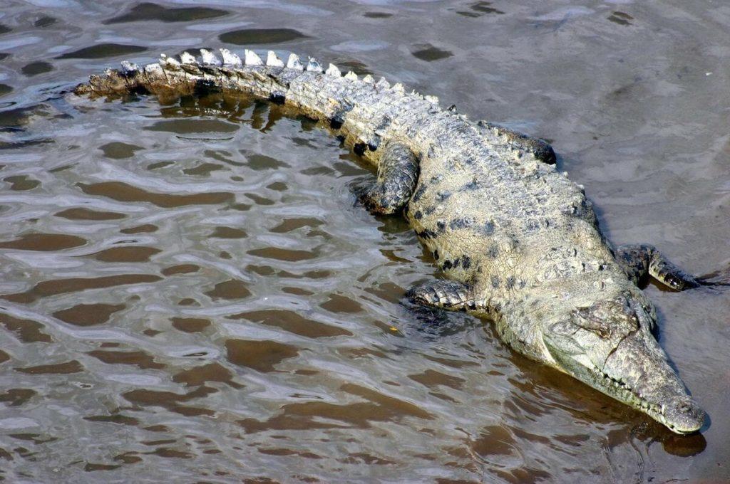 Американский или острорылый крокодил