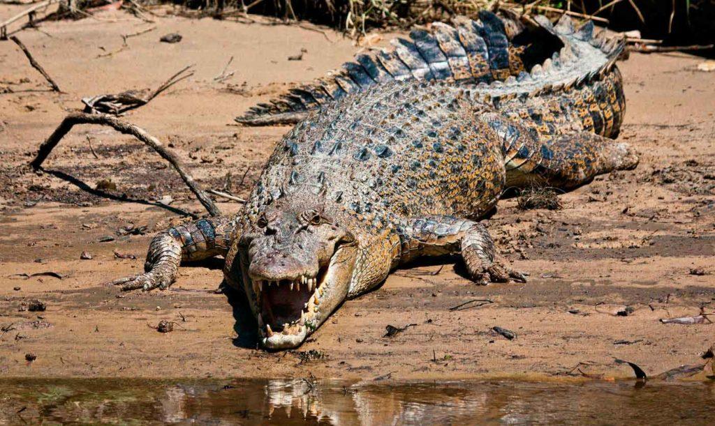 Солоноводный крокодил