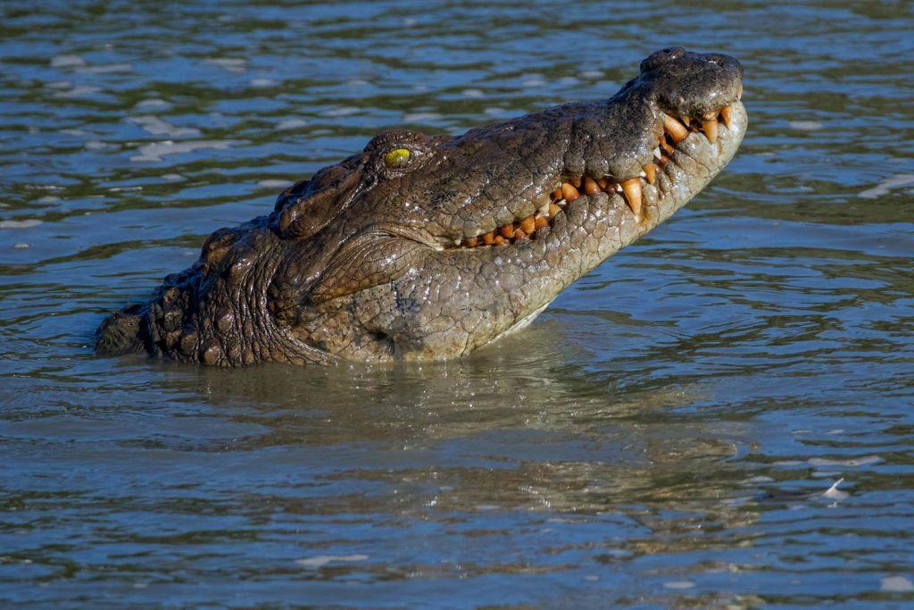 Морда крокодила 28