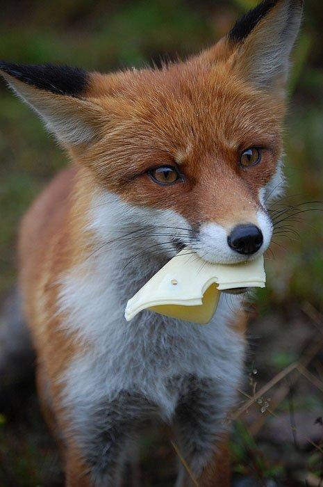 фото лиса с сыром